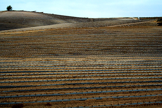 Tomato field at Valdivia Farm