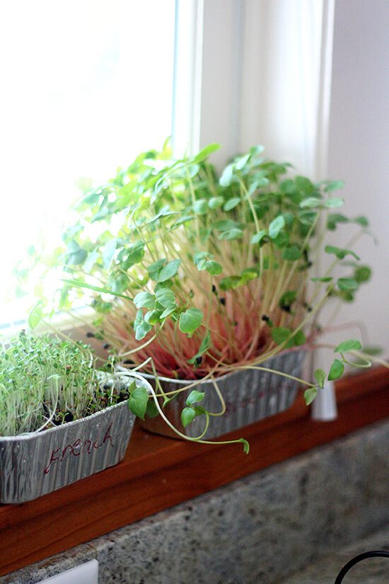 sprouts in window